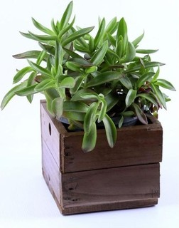 Tasneem Plants Crassula Plant Box